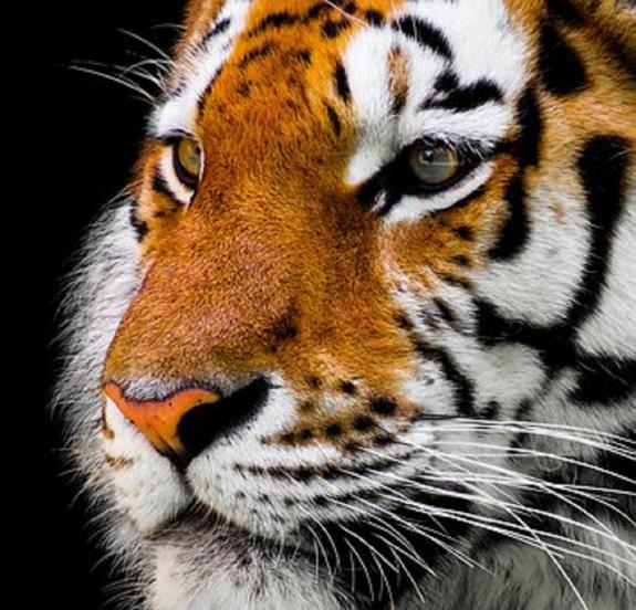 Тигрица, убившая 13 человек, ликвидирована в Индии
