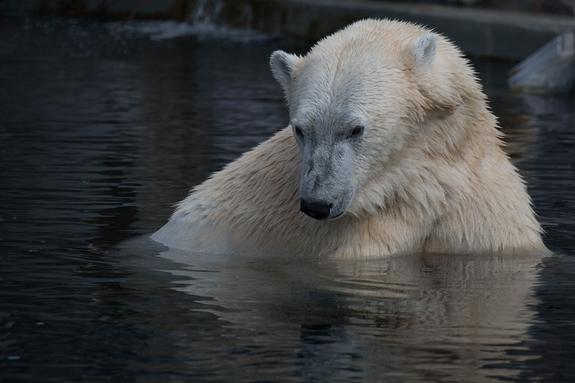Группа белых медведей с детенышами  бродит вокруг села на Чукотке