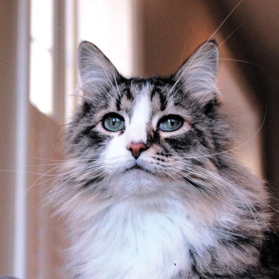 Русские любят кошек сильнее всех в мире