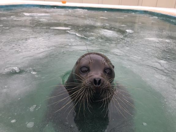 В Петербурге нерпу из замерзшего бассейна вызволяли кувалдой