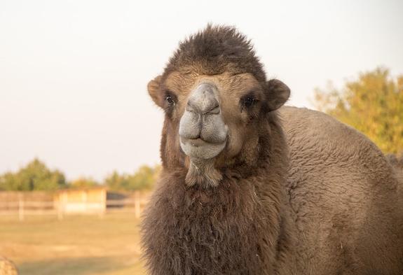 В Иркутской области на трассе опрокинулась фура с верблюдами