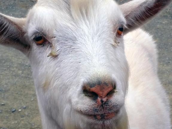 В Сербии коза съела 20 тысяч евро и не выжила