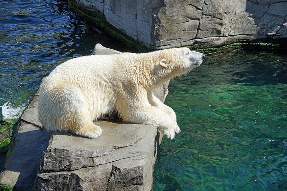 Белый медвежонок-сирота бродит в окрестностях села на Чукотке