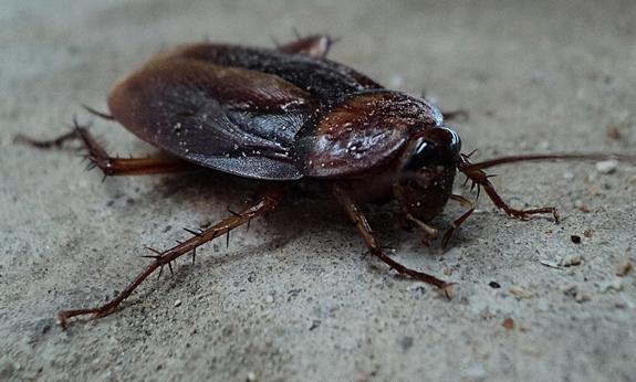 Китай плодит тараканов в промышленных масштабах