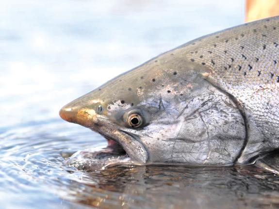 Есть новый рыбный рекорд