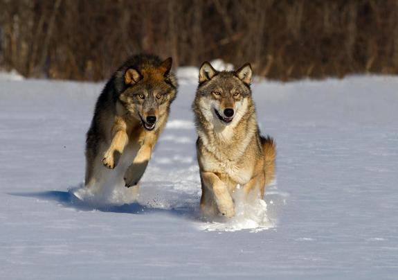 На Дальнем Востоке размножились волки