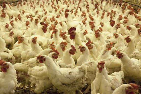 Минсельхоз сообщил о резком подорожании куриного мяса в России