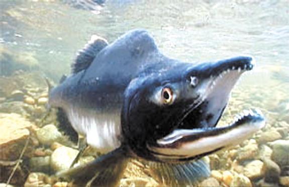 В год лосося горбуша преподнесёт сюрприз