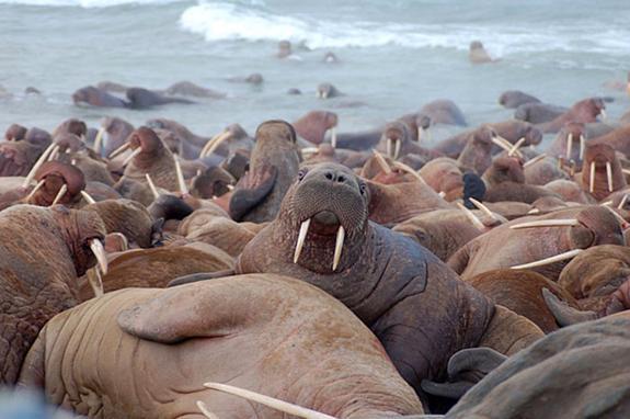 На Чукотке посчитали моржей и китов