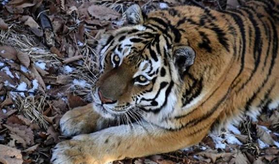 """""""Антистресс"""": тигра Амура подарят администрации Приморья"""