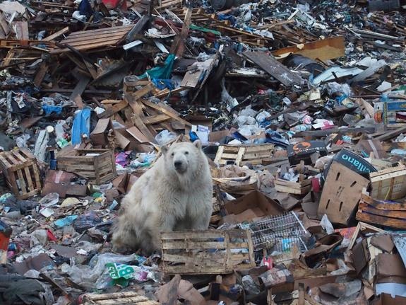 WWF указал причину нашествия белых медведей на Новой Земле