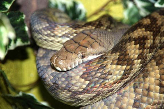 Ученые узнали, как змеи лишились своих конечностей