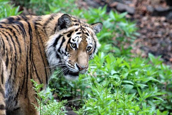 Житель Хабаровского края убил амурского тигра, который напал на корову