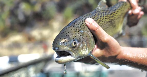 Северные лососи получат страховой полис