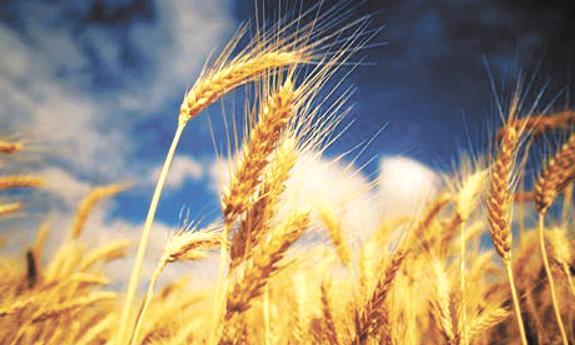 Прогноз на урожай зерна снова вырос