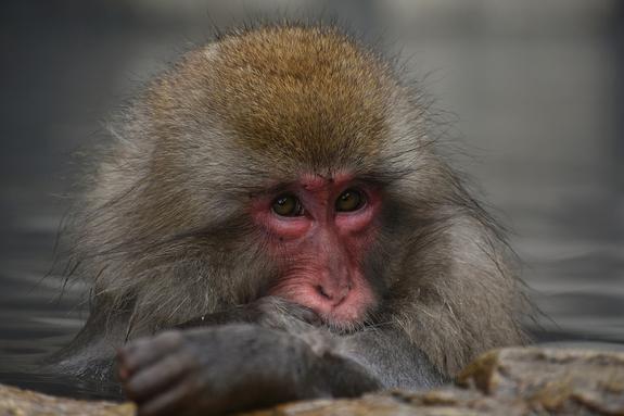 Ученые нашли обезьяну умнее человека