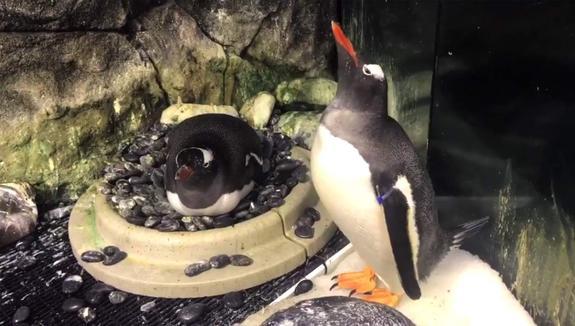 В Австралии пингвины-гомосеки усыновили яйцо