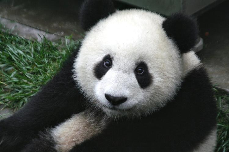 Московский зоопарк решил не обнимать китайских панд