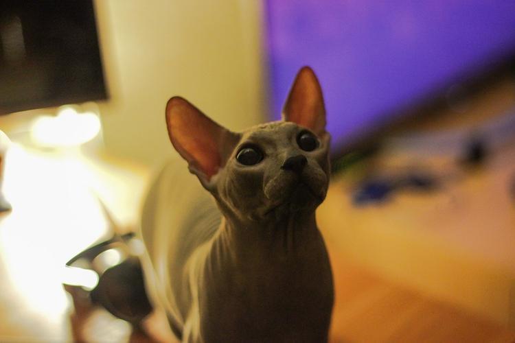 Кот Бари Алибасова  сбежал, сын продюсера  гарантирует  вознаграждение тому, кто найдет лысого кота