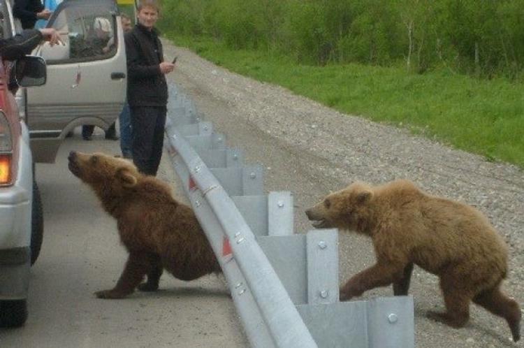 На Камчатке медведи кошмарят жителей сёл и городов