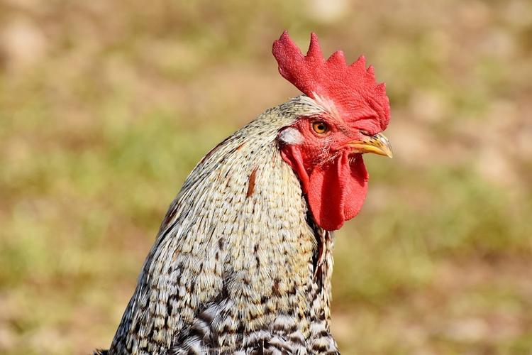 В Австралии петух убил хозяйку, которая собирала куриные яйца