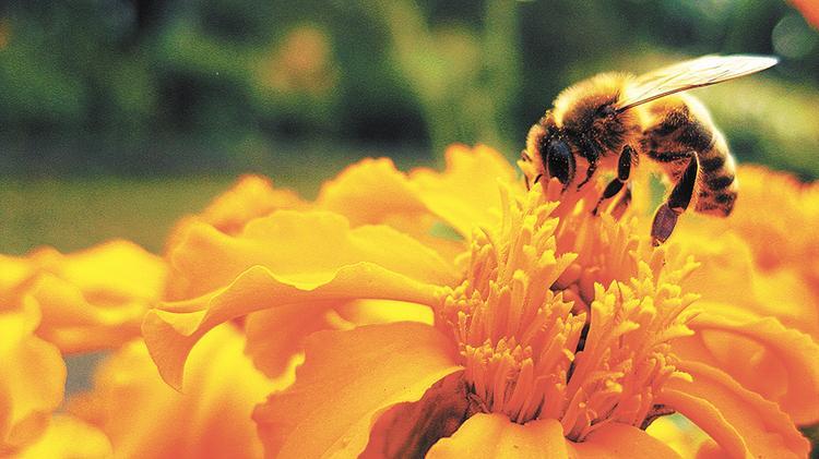 «Исчезнут пчёлы, исчезнет и человек»