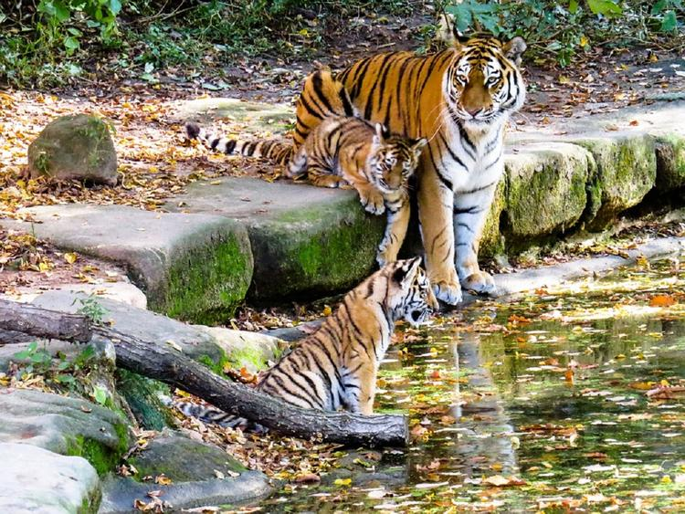 В Крыму появились на свет четыре редких амурских тигренка