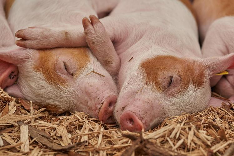 Китайский фермер  вырастил  свинью весом, как медведь