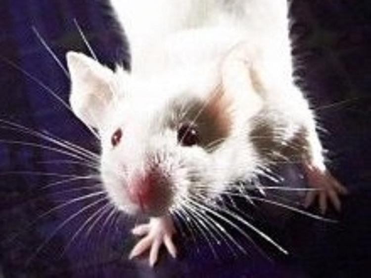 Ученые: крысы с удовольствием сели за руль авто