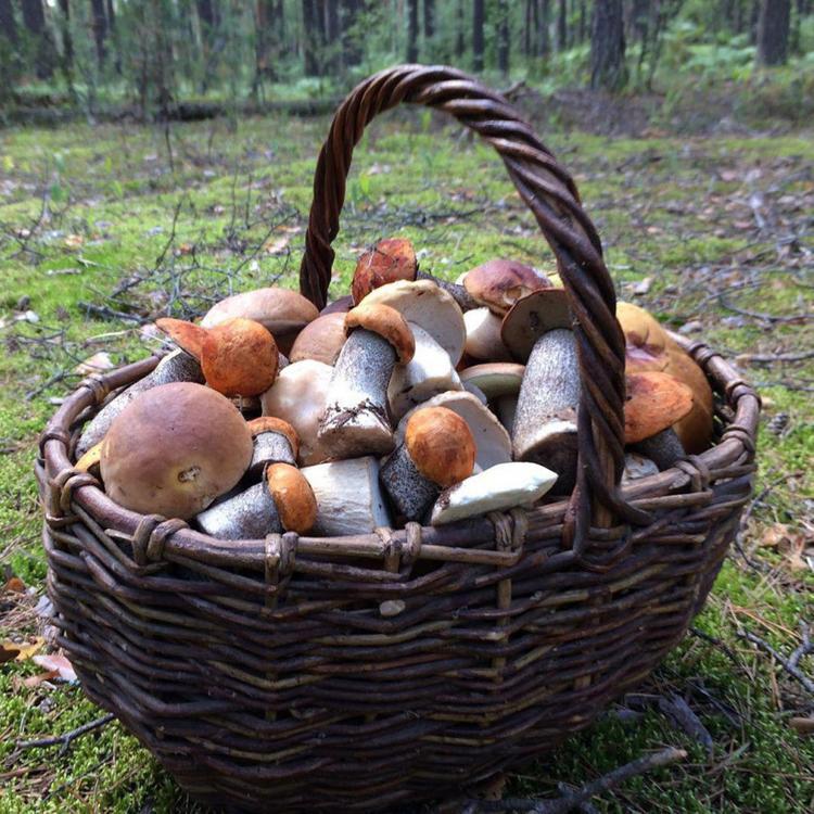Необычные грибы  находят в Подмосковье  любители тихой охоты