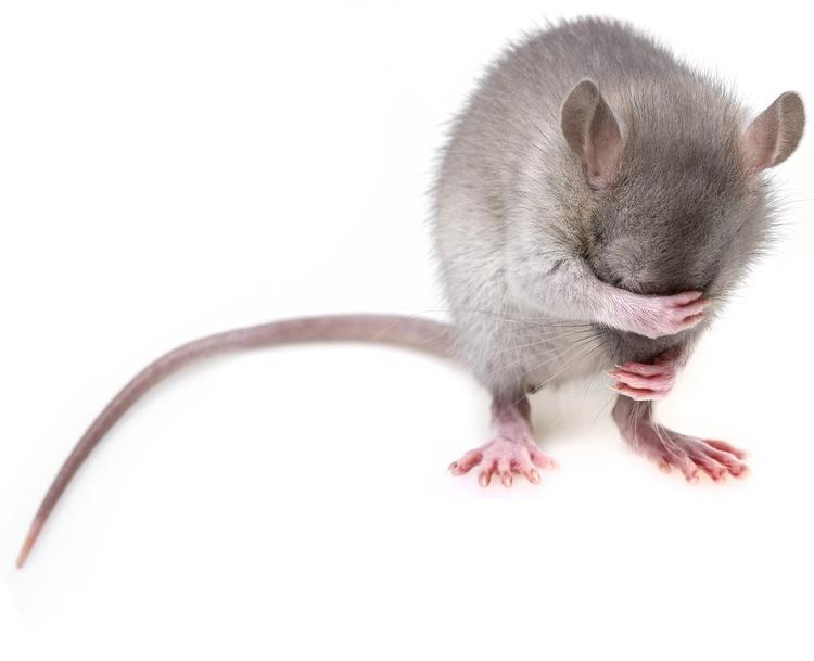 В Великом Новгороде  используют крысу для обнаружения рака у пациентов