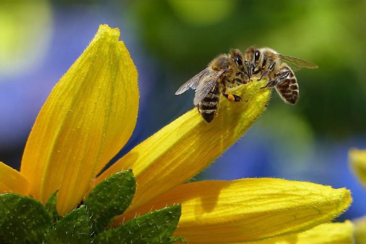 Ученые: ЛЭП делают пчел глупее и агрессивнее