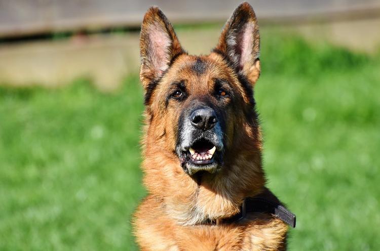 В Забайкалье полицейский-кинолог при помощи собаки спас потерявшуюся пенсионерку