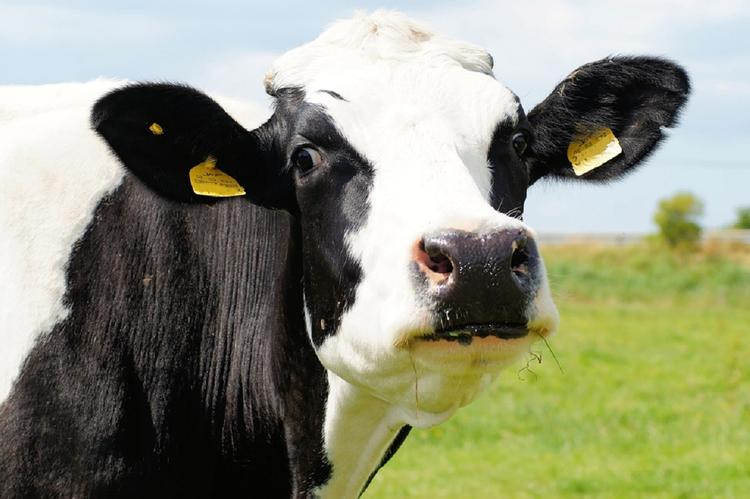 В Подмосковье на коров надели очки виртуальной реальности