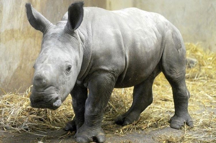 В Бельгии родился белый носорог
