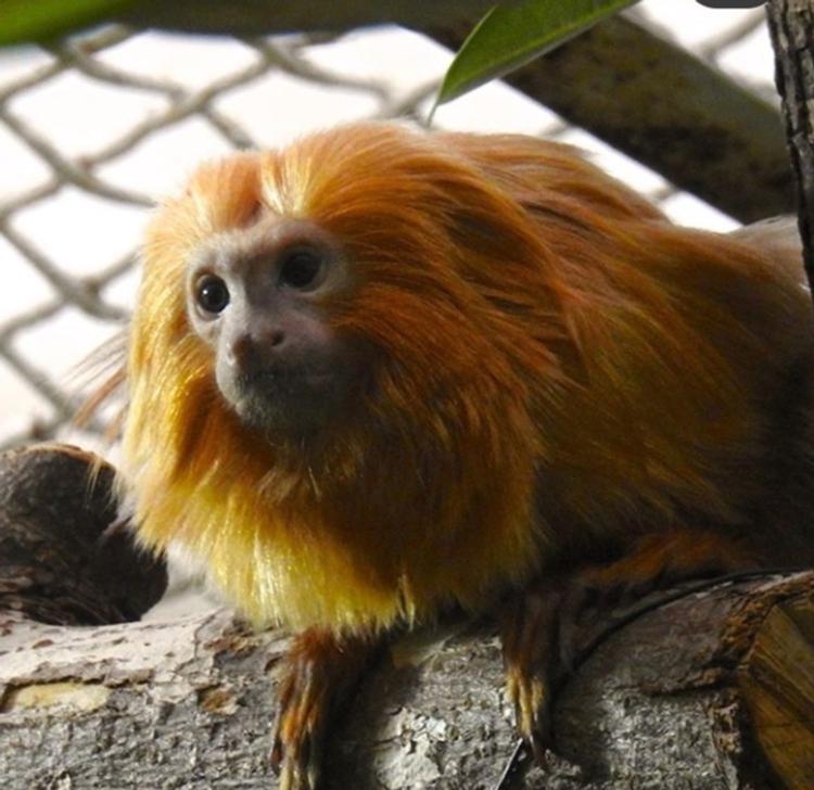 Новые жители московского зоопарка: обезьяны с львиной гривой