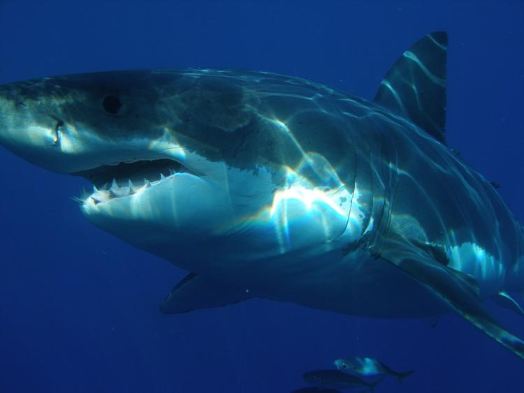 Акула сбила семилетнего серфера с доски в США