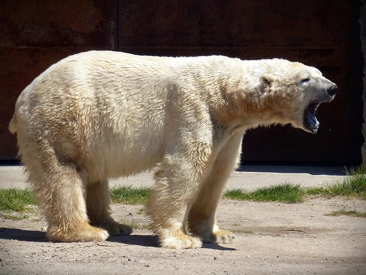 На Чукотке белые медведи
