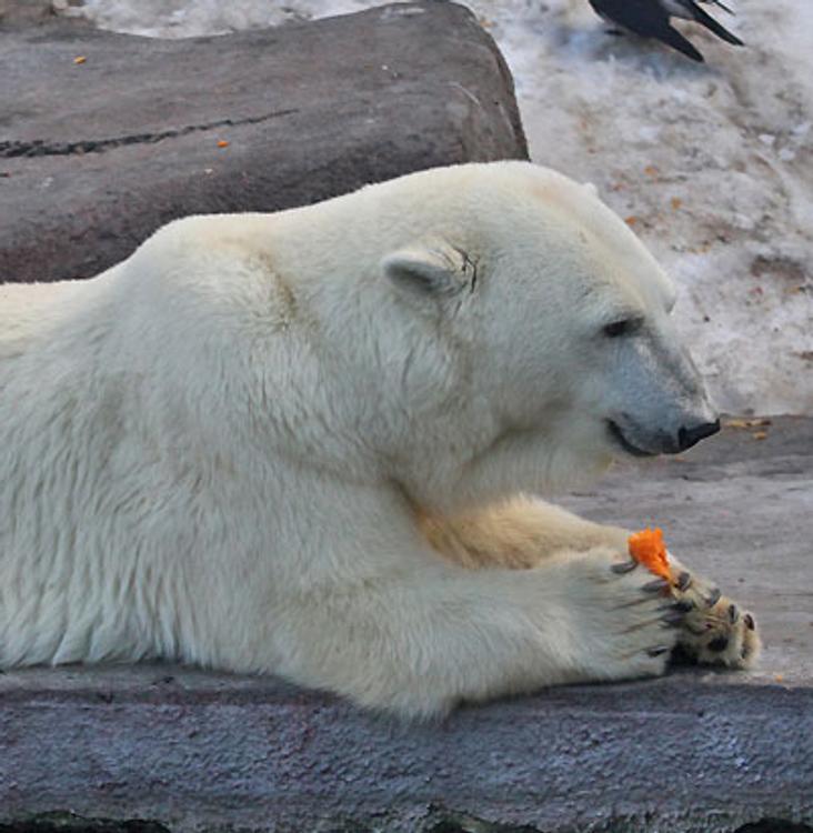 Белые медведи уходят из села на Чукотке