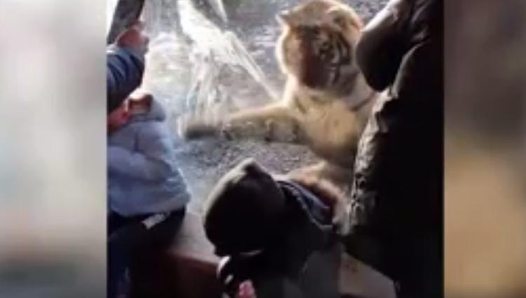 Нападение тигра на их детей стало новым развлечением для британцев
