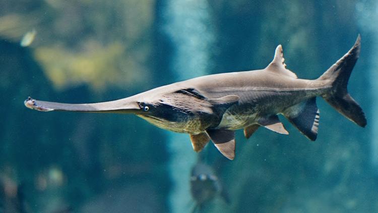 Ученые готовы признать вымершей крупнейшую пресноводную рыбу