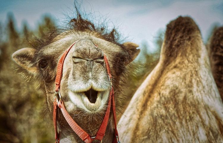 Верблюд-экстремал на 40 минут задержал поезд в Москву