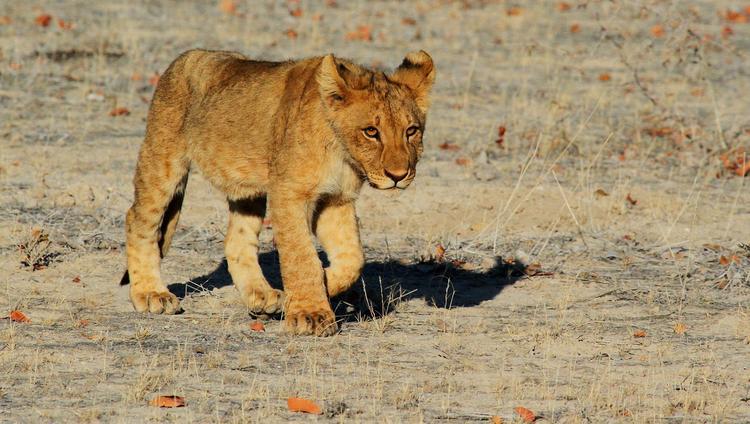 В Судане львов заморили голодом