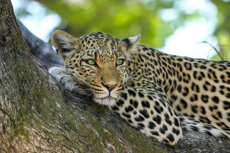 В рижской квартире полиция обнаружила черного леопарда