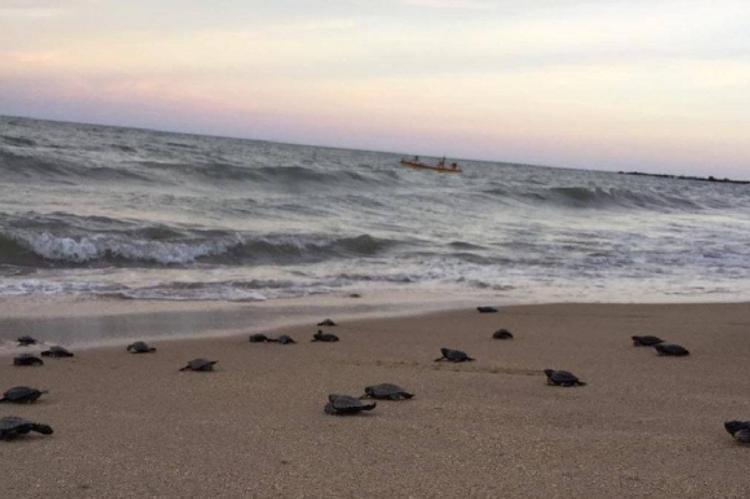 Наконец-то свободно: тысячи черепах заполнили безлюдные пляжи
