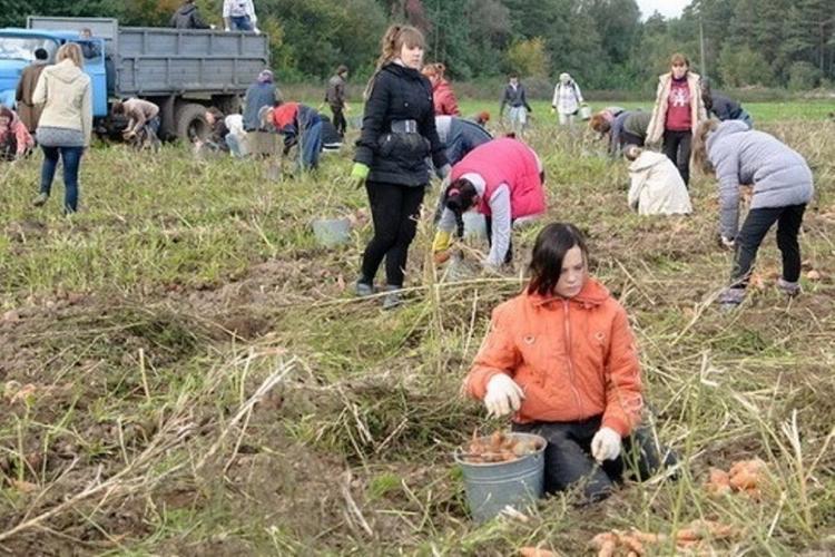 Студентов и заключенных отправят на уборку урожая
