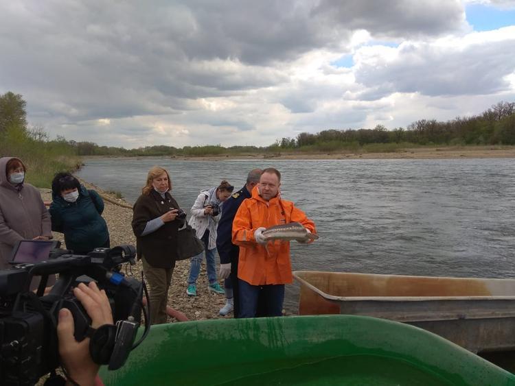 В реку Лаба выпущены шип и стерлядь