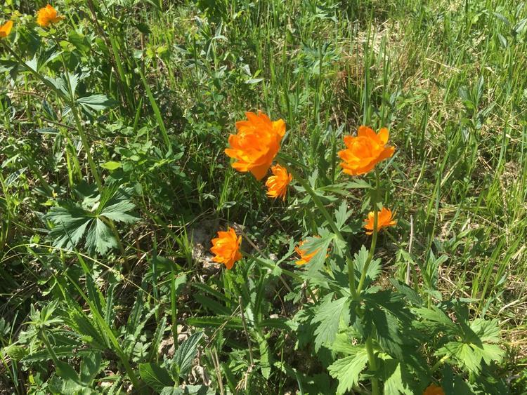 В Саяно-Шушенском заповеднике цветут жарки