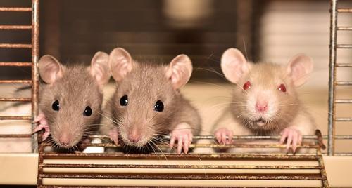 Ученые постараются выяснить причины опасности COVID-19 при помощи мышей