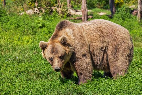 На Камчатке медведь напал на рыбака, мужчина госпитализирован в больницу